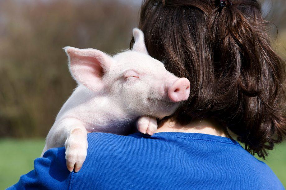 Person holding piglet over shoulder