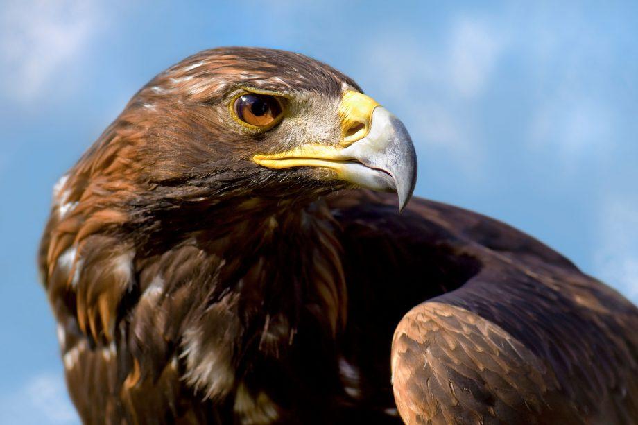 Close up shot of Golden Eagle taken in Scotland near Loch Lomond