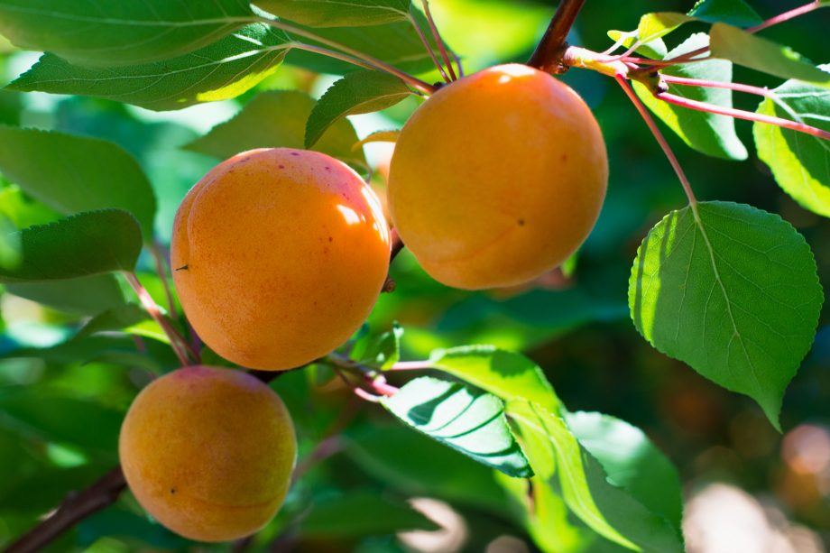 Apricot tree branch with three ripe fruits on it