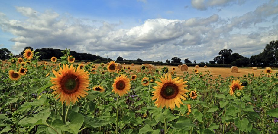 Sunflowers stand against a harvest field in Norfolk, Andrew Barwick / Artcraft Photography, Getty Images