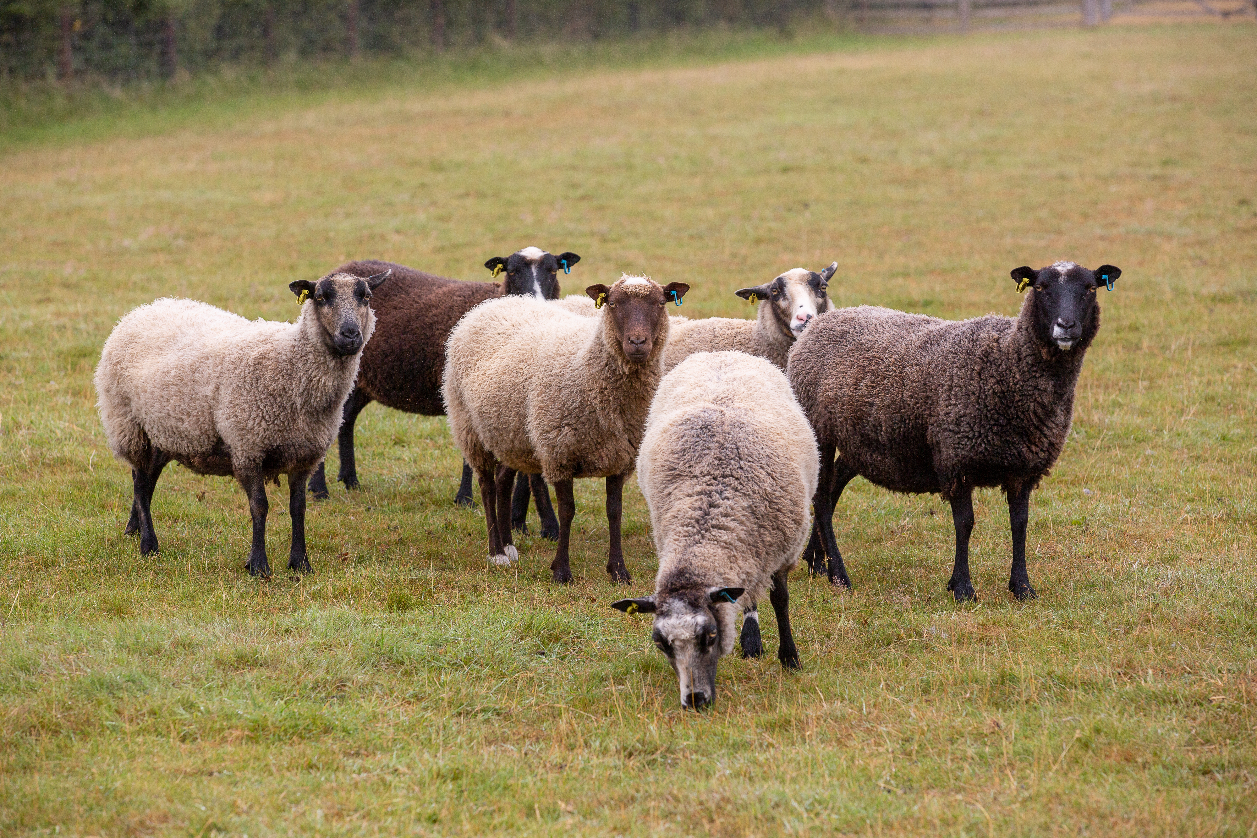 The rise of primitive sheep: Why our own Scottish sheep win top