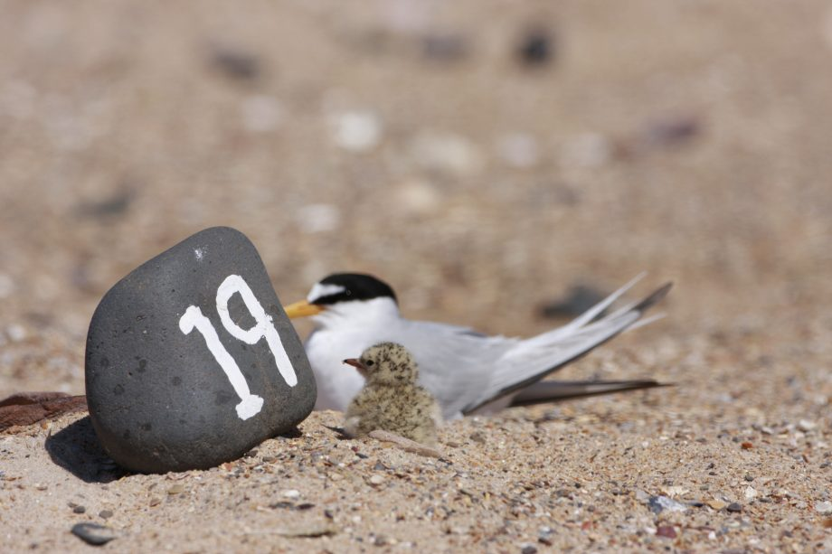 The little tern has just enjoyed its most successful season in almost 30 years