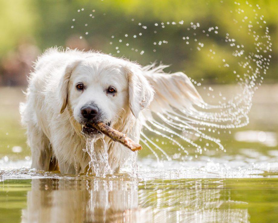 Golden Retriever jumping in a stream