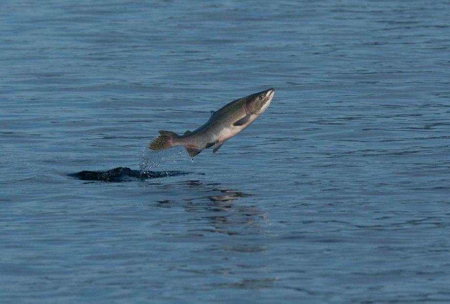 Pink Salmon jumping