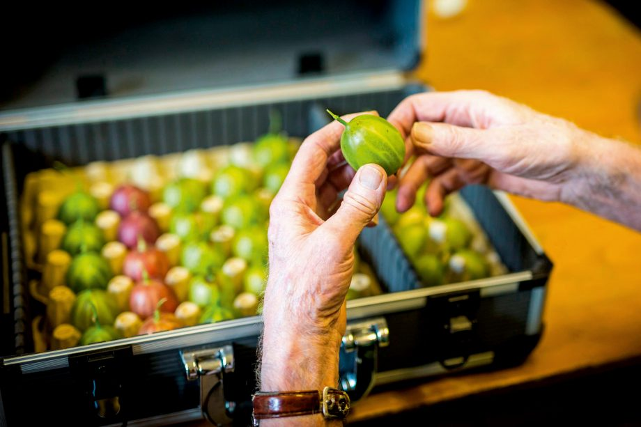 Graeme Watson's Gooseberries arrive for weighing at the Egton Bridge Old Goosberry Show. Photo by Andrew McCaren/LNP/Shutterstock