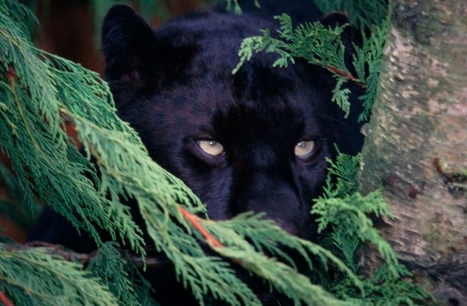 A black panther peeks from behind leaves