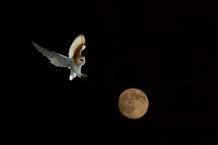 How white-feathered barn owls terrify their prey into submission: 'It's like a ghost coming on it'