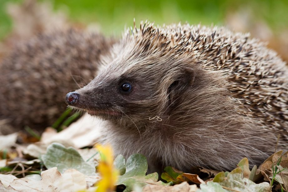 Country Life Today: Good news for the urban hedgehog and how you can help the species