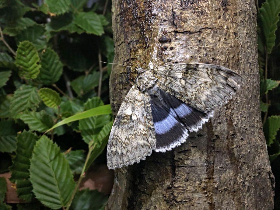 Clifden Nonpareil moth on a tree