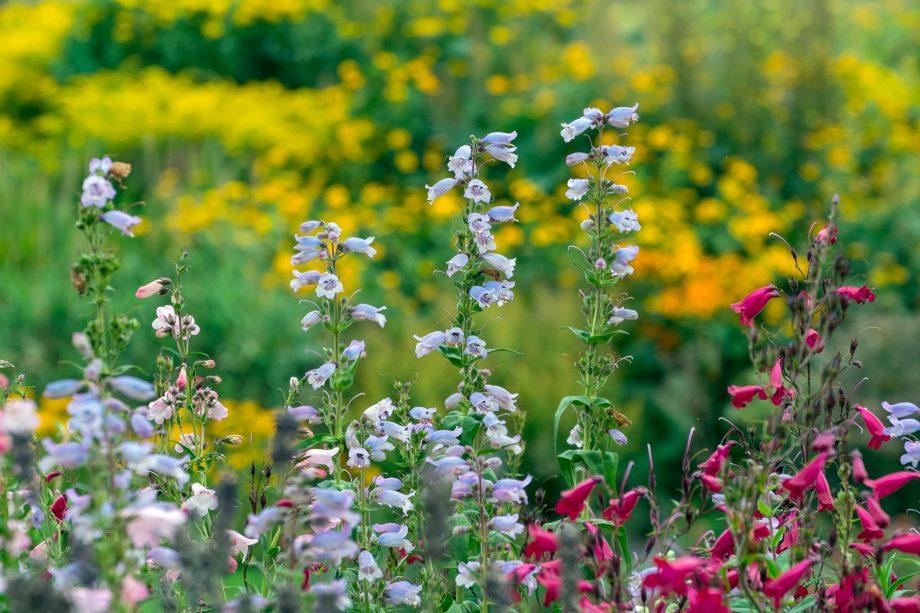 penstemons in a late summer garden,