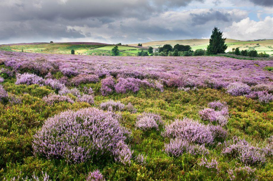 Heather in Bloom on Nought Moor near Pateley Bridge Nidderdale Yorkshire