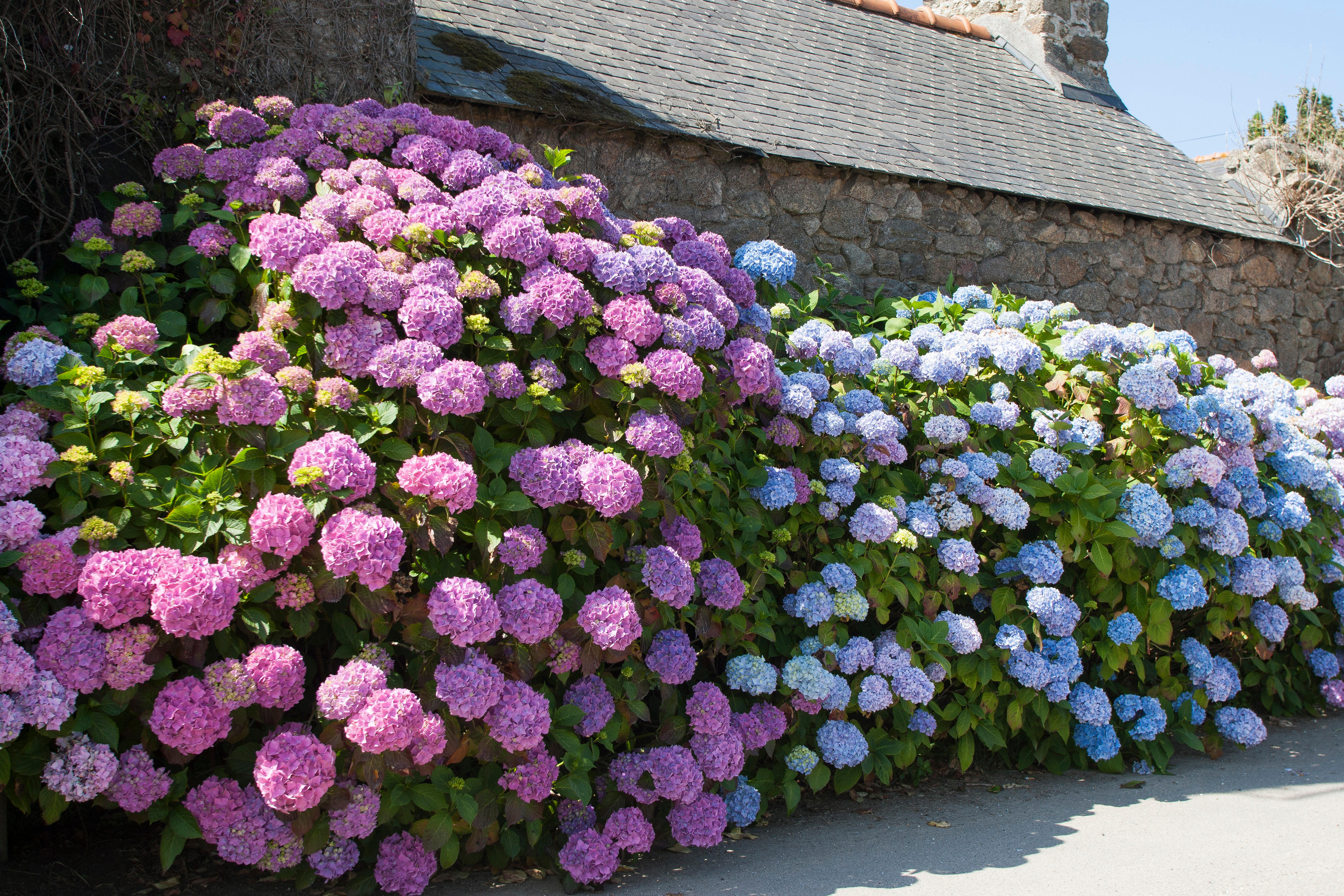 Hydrangeas: Varied, colourful and lovingly tended to by the wizard of White House Farm - Country Life