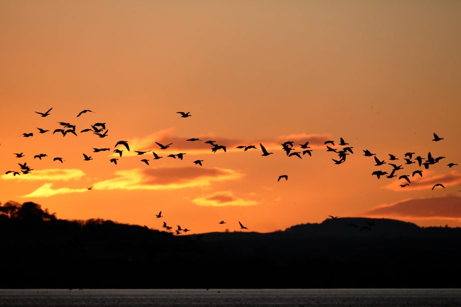 Pink-footed Geese roost at Montrose Basin