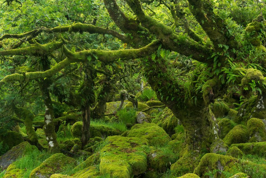 The mysterious Wistman's Wood, an ancient stunted pedunculate oak woodland high on the Dartmoor moorland, Dartmoor National Park.