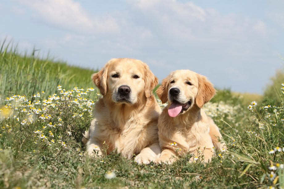 Two Golden Retrievers lying on the ground