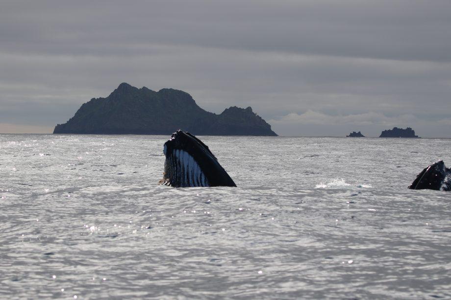 Humpback whales return