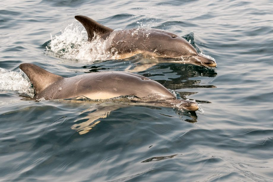 Wild Common Dolphin or Long beaked common dolphins of the Shores of Cornwall, England, UK