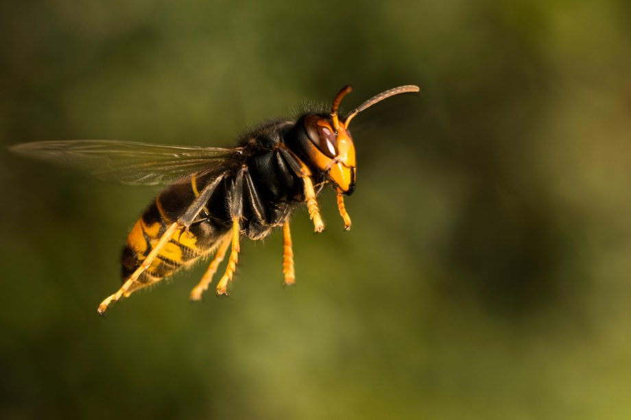 Asian hornet in flight