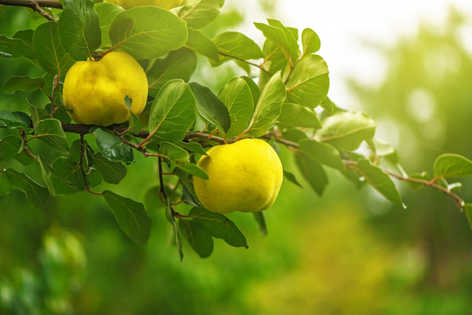 Why quince, beloved by everyone from Edward I to the Ancient Greeks, is the perfect autumn fruit