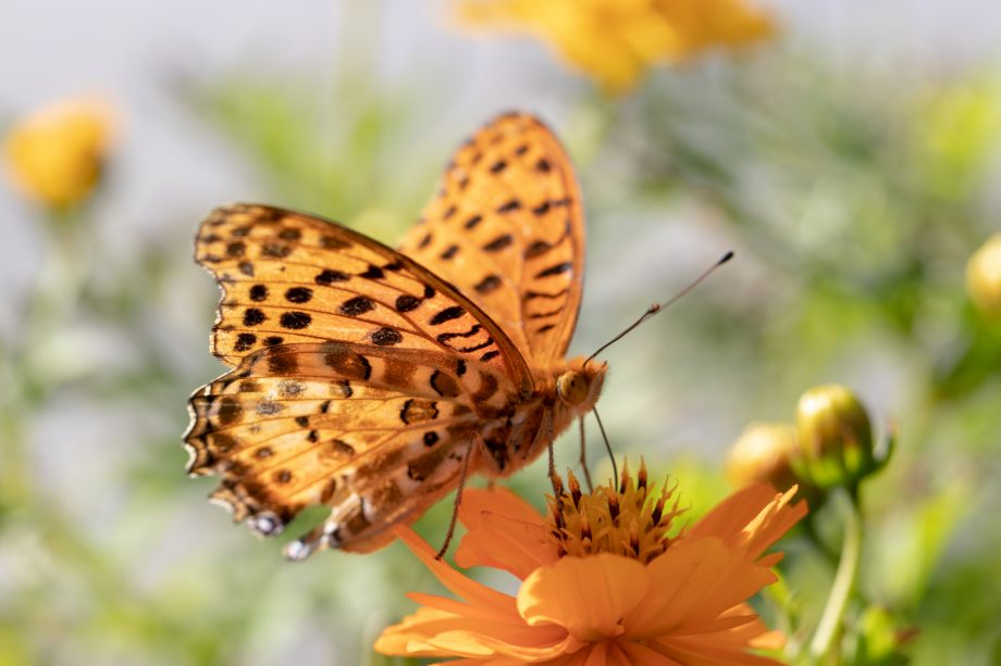 High brown fritillary butterfly