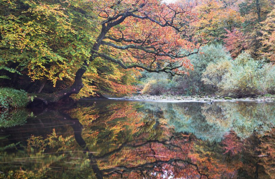 The River Dart passing through Hembury Wood in Devon, UK, with autumn colours on the trees