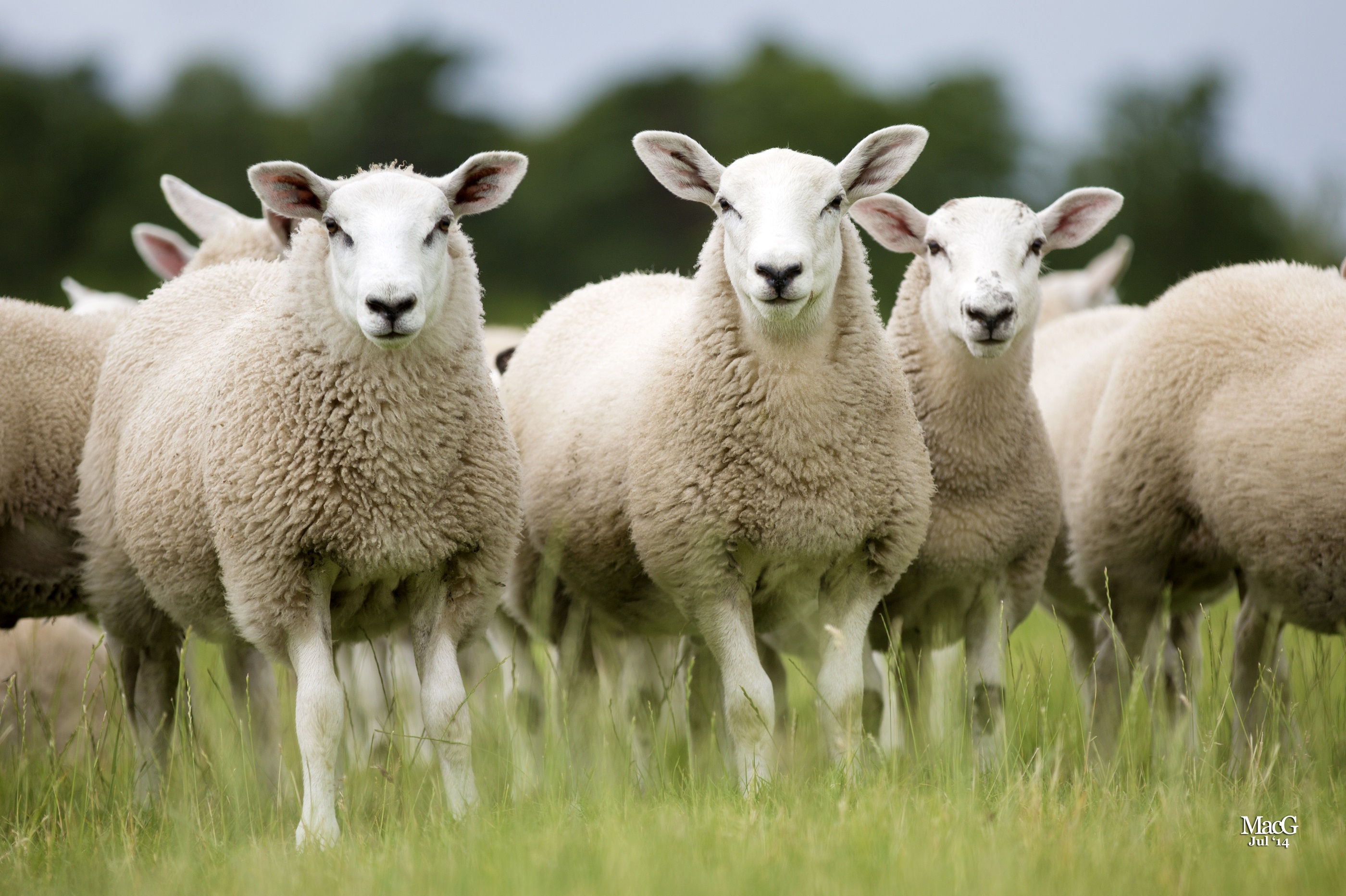 Green sheep' on the way as Scottish scientists set out to breed ...