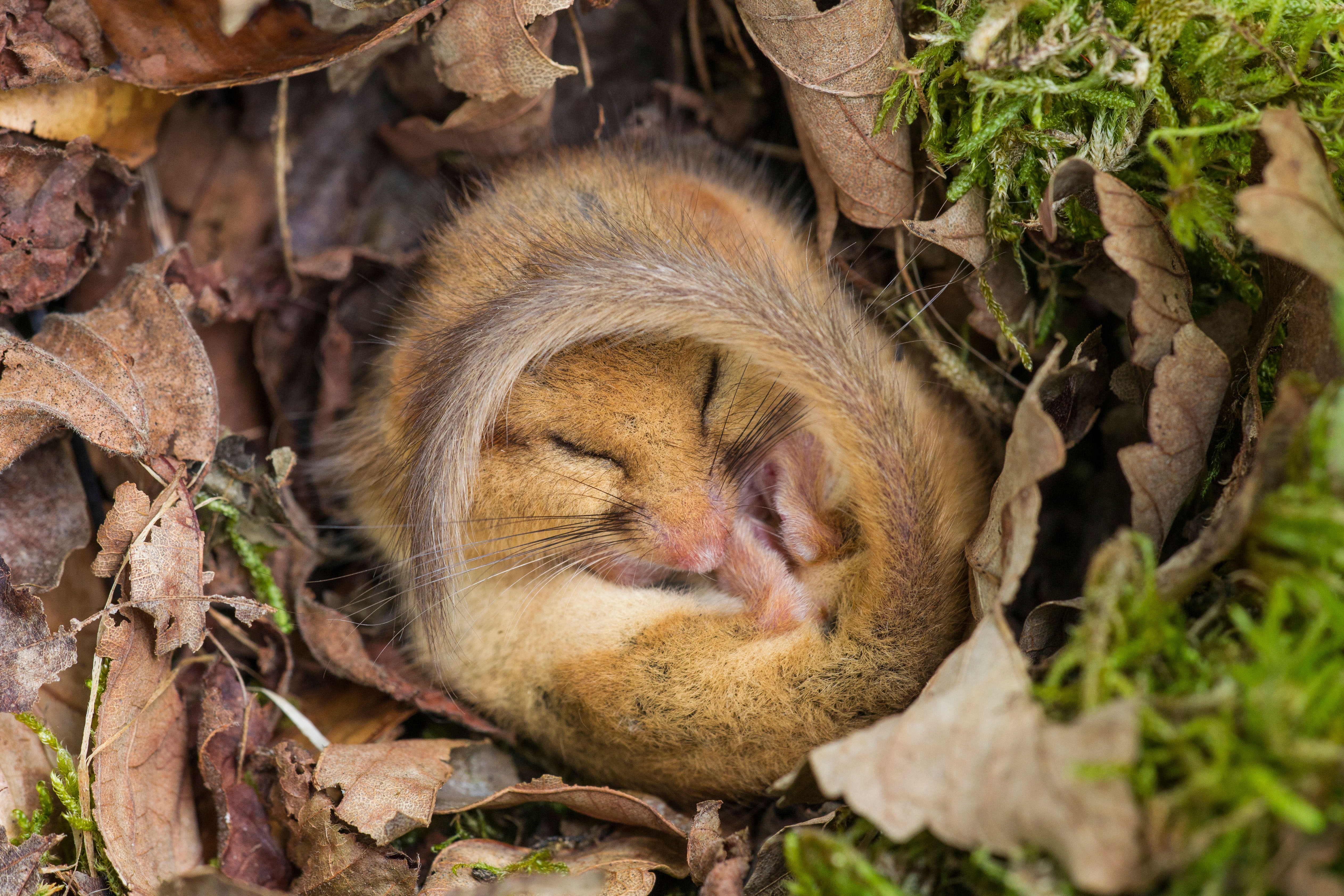 Country Life Today: How you can help protect rare hazel dormice as they prepare for their winter sleep