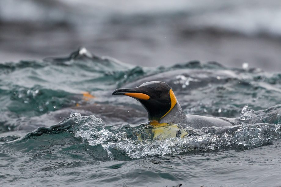 King Penguin swimming