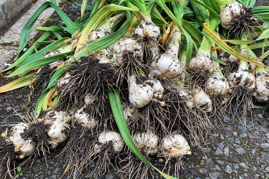 Harvest day pulling up my elephant garlic grown in my garden.