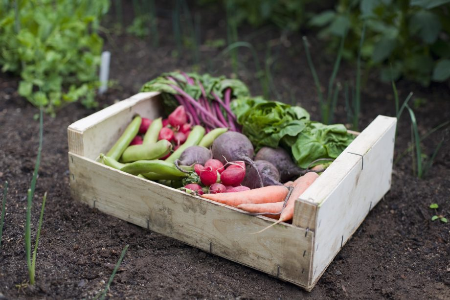 A wooden veggie box containing healthy local produce, broad beans, radish, carrots, beetroot and lettuce rests on rich dark brown pesticide free soil. The fresh organic homegrown vegetables have been grown and gathered in a vegetable garden or allotment.