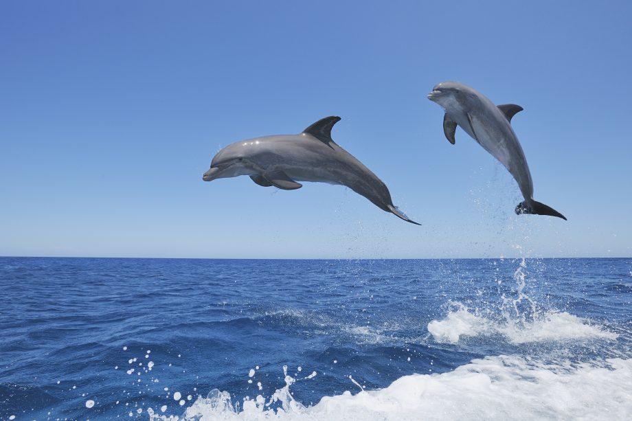 Bottlenose dolphin (Tursiops truncatus) jumping in Sea. Caribbean Sea, Roatan, Bay Islands, Honduras, Latin America.