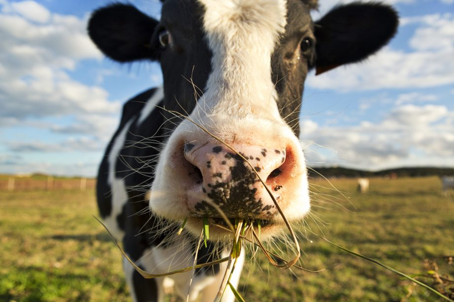 A dairy cow chewing grass in a field