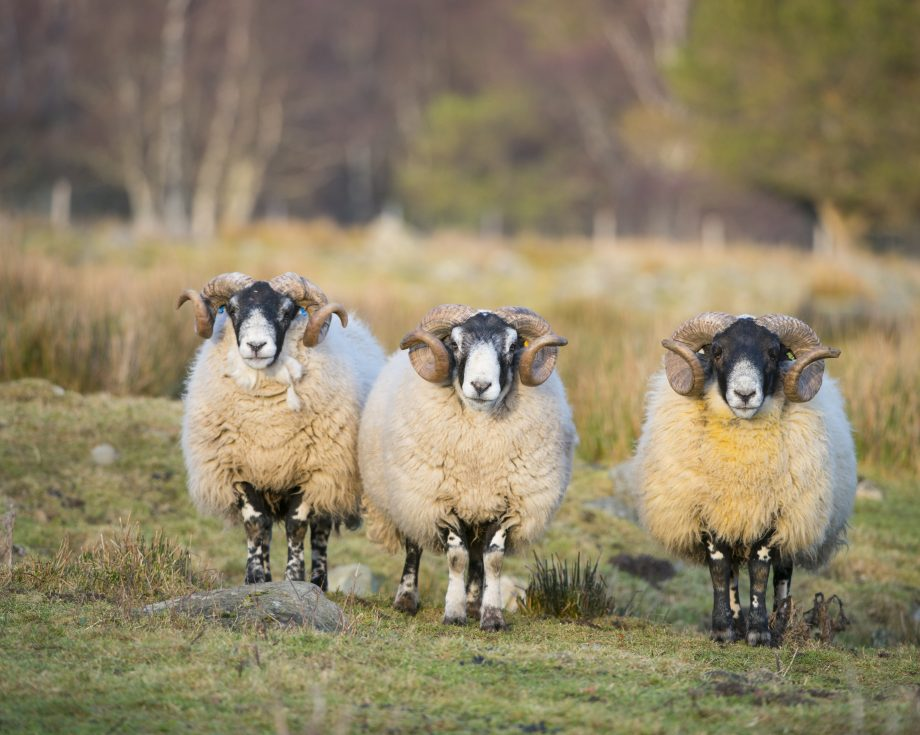 Black-faced Sheep, group of males (rams) full body looking at photographer Grampian Aberdeenshire Scotland U.K.