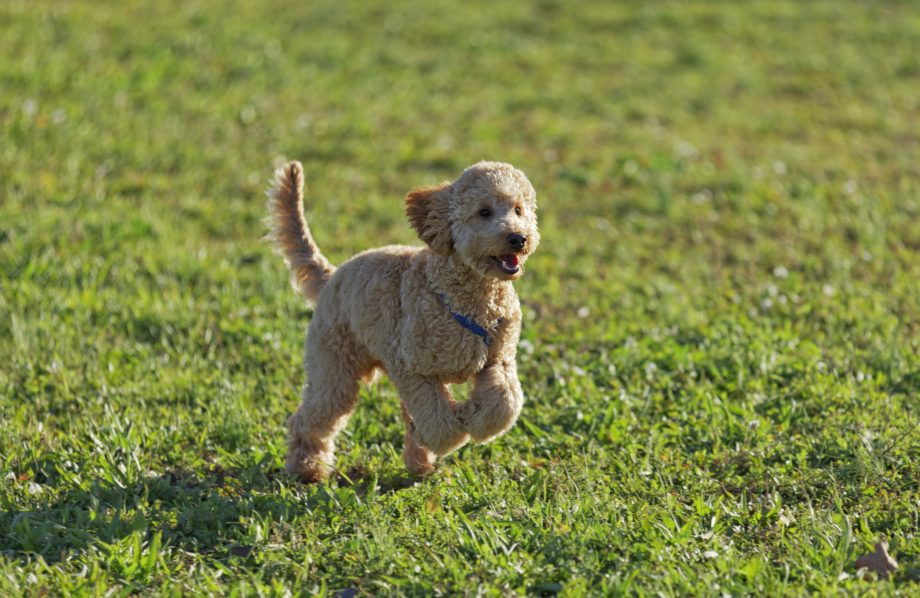Poodle 7 months running happy in the park.