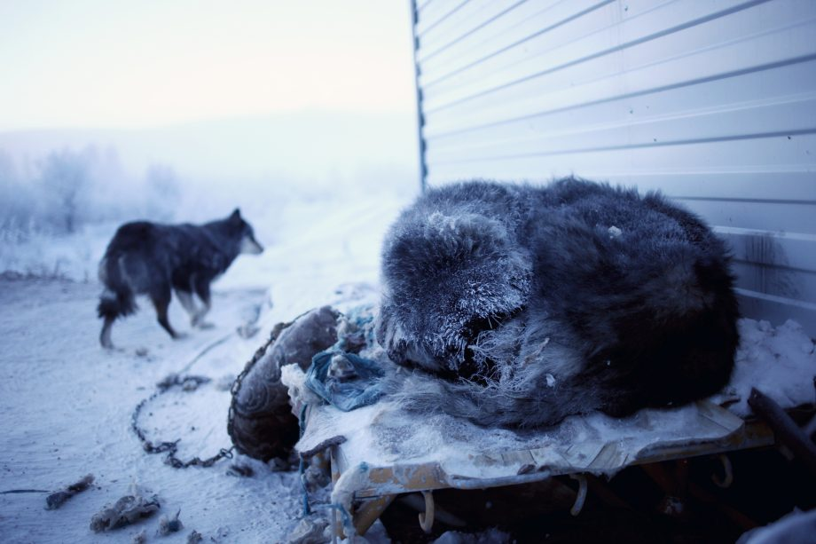 A dog sleeps with his fur coated in ice on a freezing winter's day in Siberia
