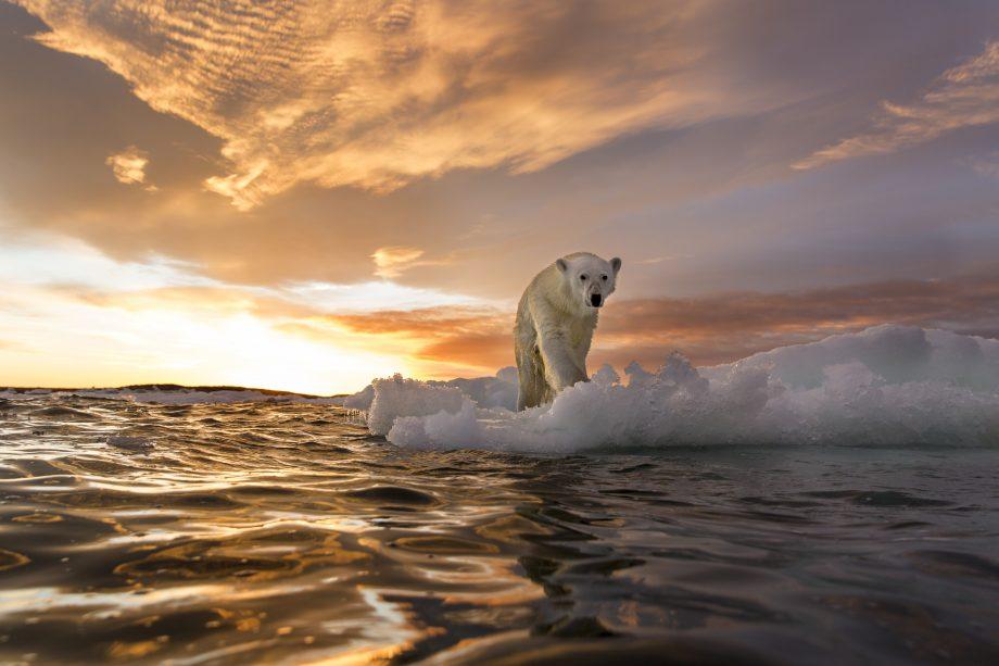 Canada, Nunavut Territory, Repulse Bay, Polar Bear (Ursus maritimus) stands on melting sea ice at sunset near Harbour Islands