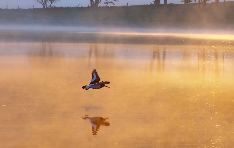 An oystercatcher flies low across Malham Tarn in the Yorkshire Dales.