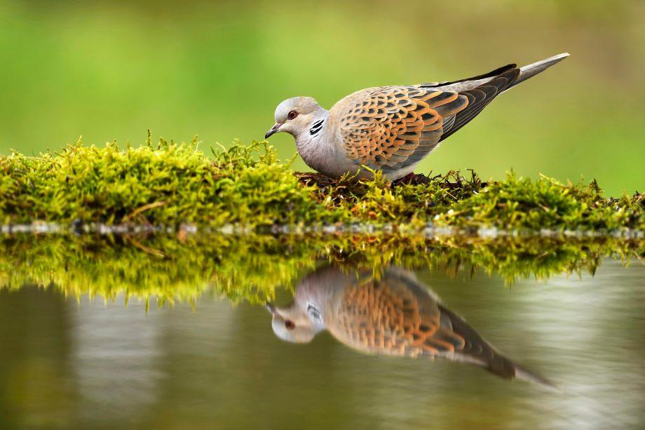 Turtle dove (Streptopelia turtur) at birdbath