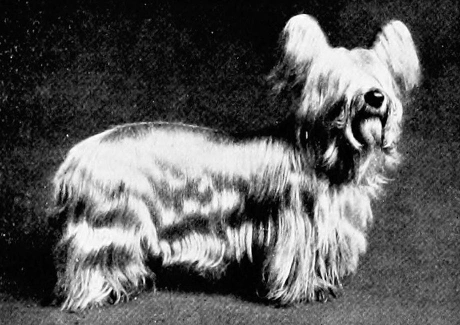 "The new book of the dog; a comprehensive natural history of British dogs and their foreign relatives, with chapters on law, breeding, kennel management, and veterinary treatment. Dogs. THE CLYDESDALE OR PAISLEY TERRIER. 415 grey, sooty or dark hairs. The tail should be of several fine examples of the breed, very dark blue or black. including the beautiful San Toy and the From the above description it will be equaUy beautiful Mozart, seen that the Clydesdale differs very materi- As with the Skye Terrier, it seems a ally from the Skye Terrier, although to the ?a""er of difhculty to produce"