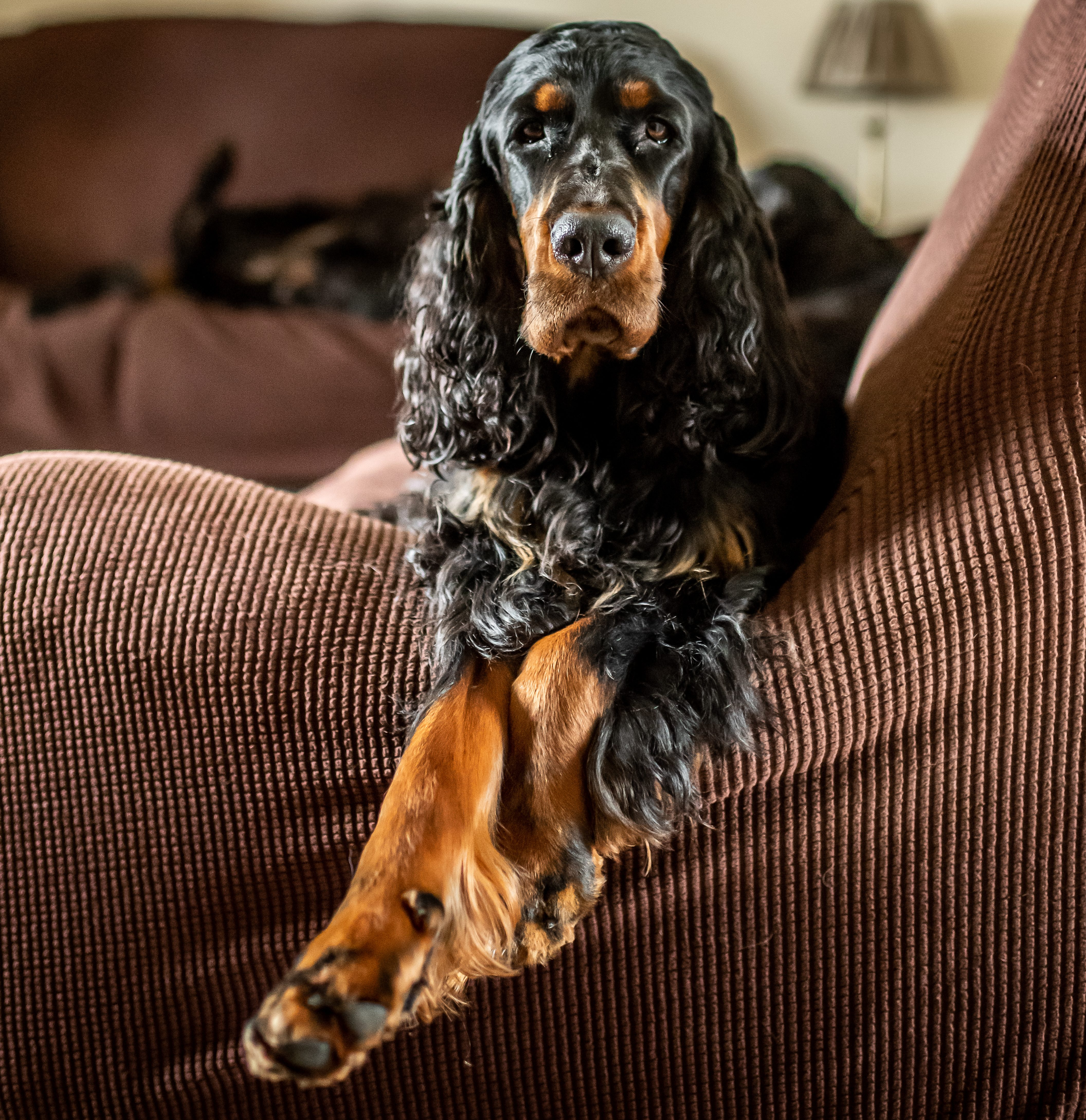 Ring with a dog Gordon Setter