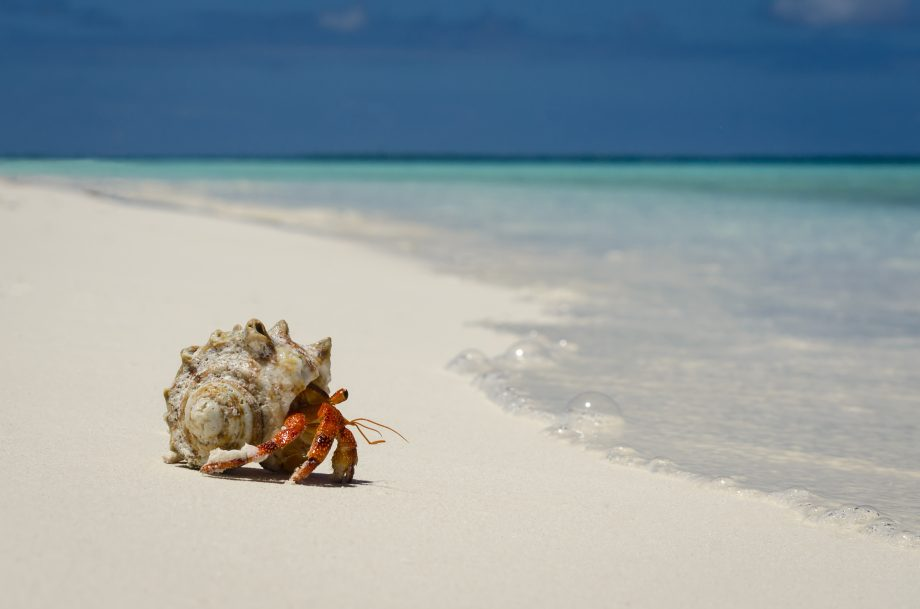 Hermit crab on the sand beach of a tropical atoll lagoon.