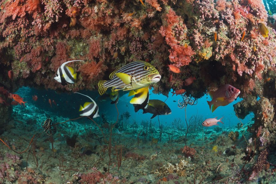 Oriental Sweetlips in Coral Reef, Plectorhinchus vittatus, Kandooma Thila, South Male Atoll, Maldives