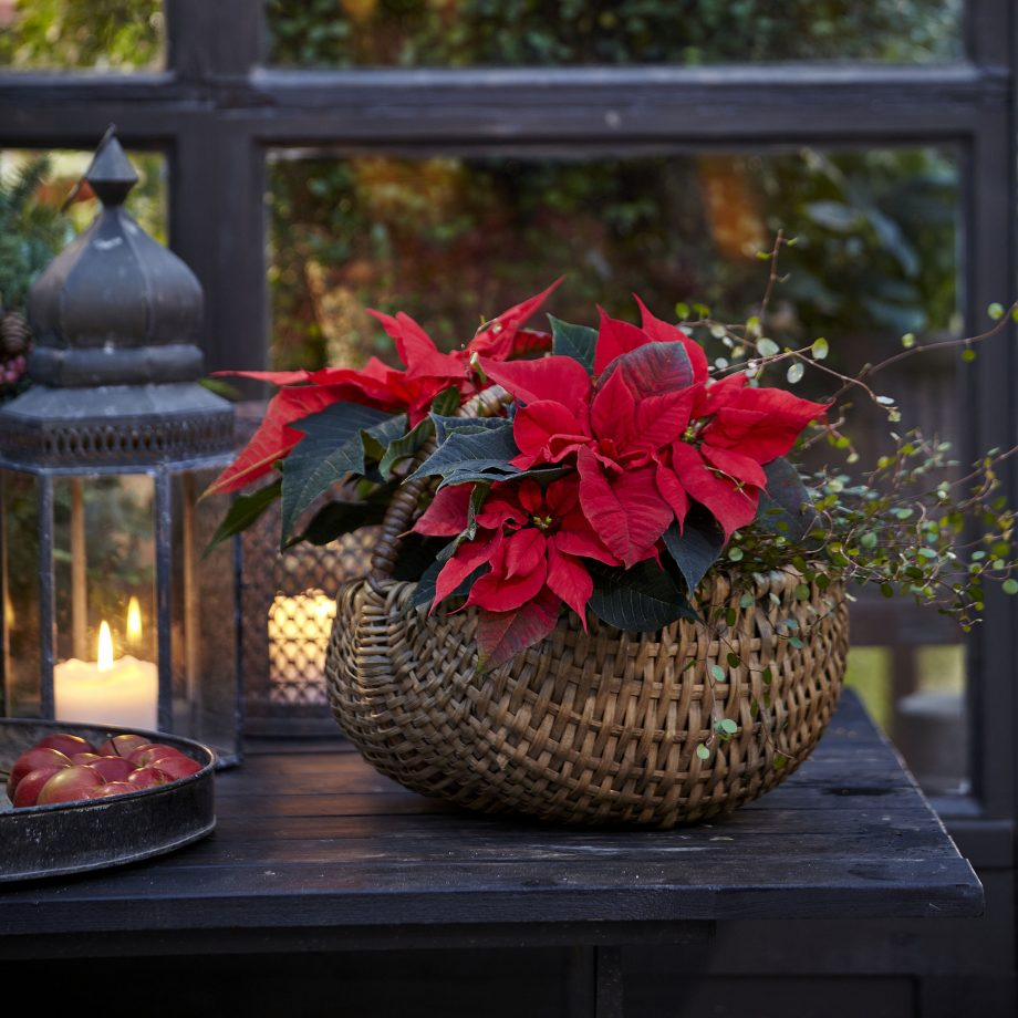 Poinsettia for Christmas