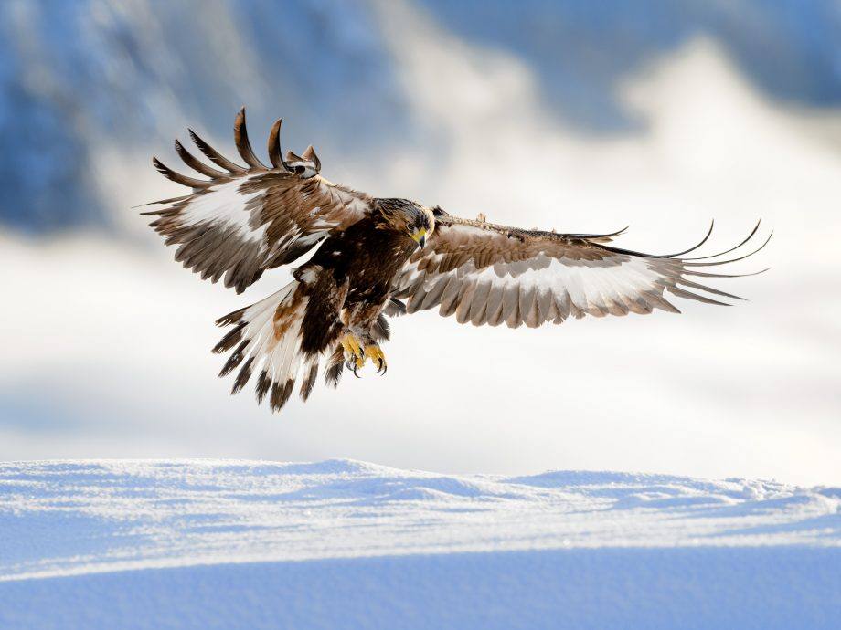 A golden eagle — the most majestic sight in the sky.