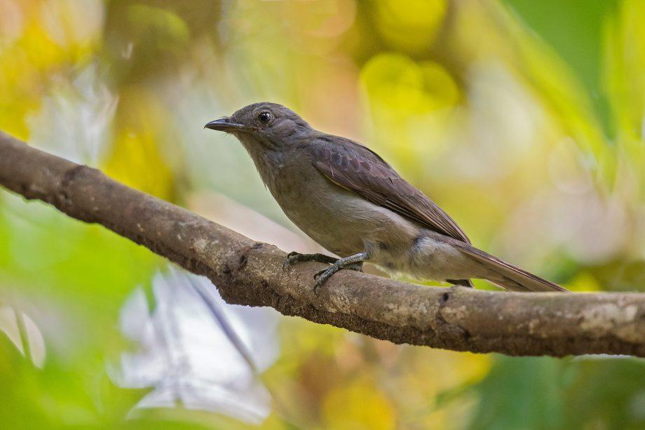 Screaming Piha (Lipaugus vociferans) —the world's loudest bird?