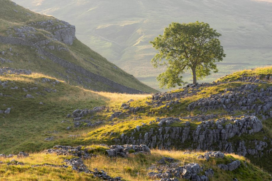 A lone tree flourishes high up on the limestone pavement of Malham Lings in the Yorkshire Dales, bathed in early morning light.