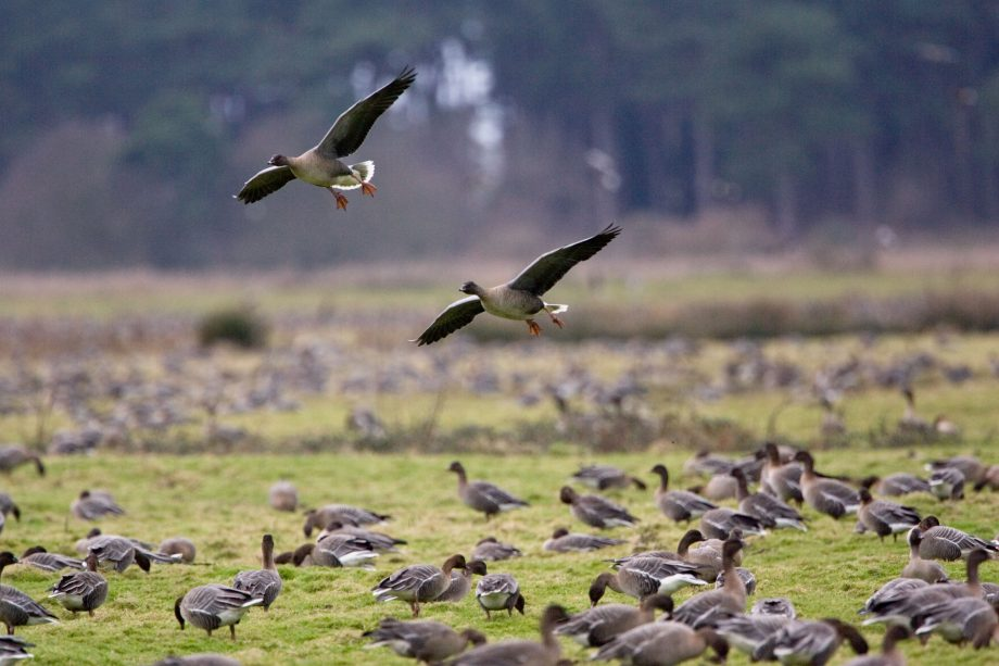 Migrating Pink Footed geese over wintering on marshland at Holkham North Norfolk coast East Anglia Eastern England