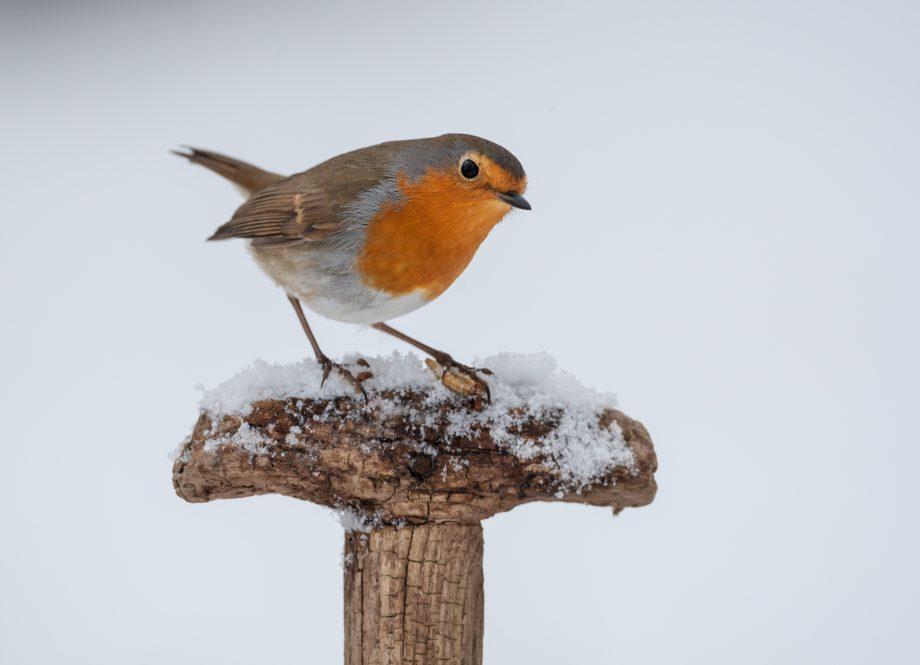 Robin bird on spade handle in snow