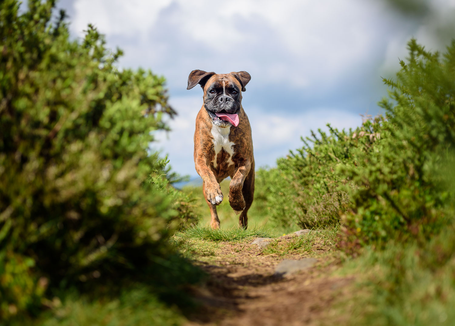 Boxer dogs: Loyal, trusting and affectionate – once you get past the drool