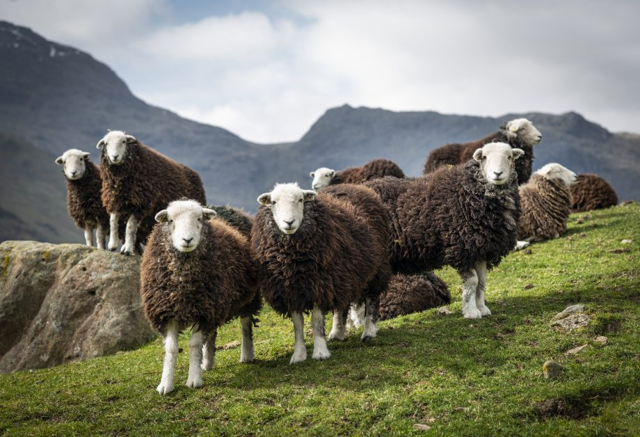 Herdwick Shearlings in Great Langdale, Cumbria, by James Buttenshaw / British Photography Awards